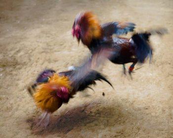 Keuntungan Judi Sabung Ayam Online